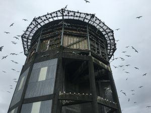 This abandoned radar tower was converted into prime kittiwake nesting habitat by Dr. Scott Hatch, several decades ago. You can feed, observe, and access hundreds of invidiual nest sites from inside the tower. For the past few decades, this tower has served as a remarkable natural laboratory to study the effects of food availability on physiology and life-history of these charismatic marine top-predators. Morgan and Eyuel had the privilege of working at this field site in summer 2016.